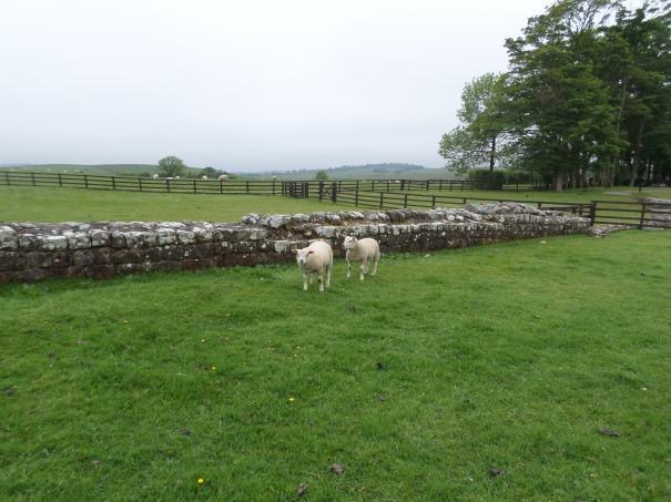 Hadrian's Wall with Sheep!
