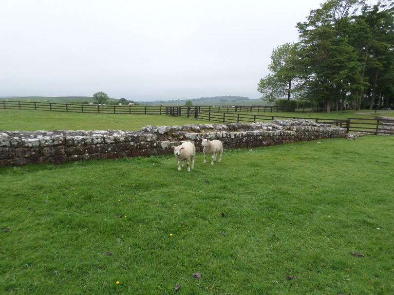 Hadrian's Wall with Sheep!